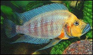 Картинки по запросу Altolamprologus compressiceps 'Kalambo'