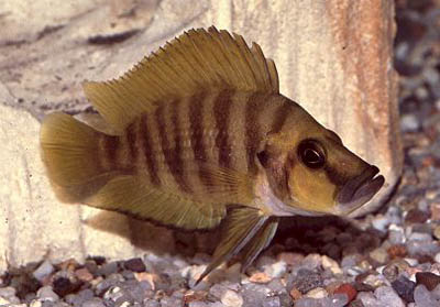 http://www.israquarium.co.il/FishPhoto/Altolamprologus%20compressiceps.jpg
