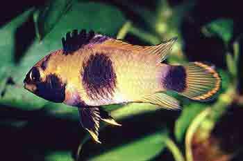 Aquarium Small Fishes, Panda dwarf cichlid (Apistogramma nijsseni)