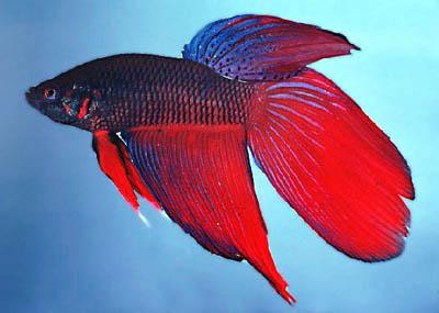 http://www.israquarium.co.il/FishPhoto/Betta%20splendens3.jpg