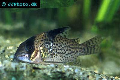corydoras lamberti corydoras latus corydoras leopardus corydoras ...