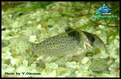 corydoras loxozonus m corydoras maculifer corydoras mamore corydoras ...