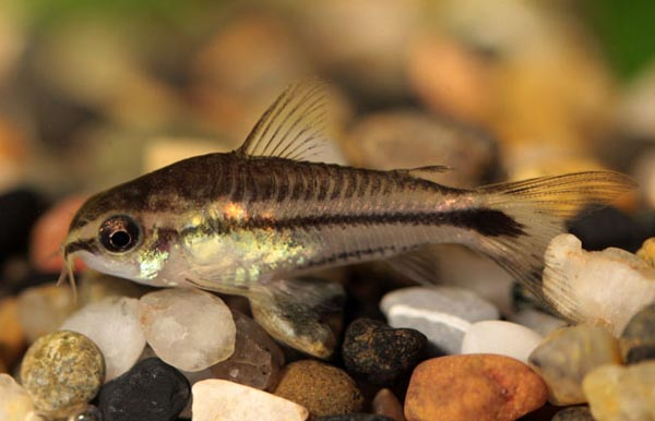 Go Back > Gallery For > Pygmy Cory