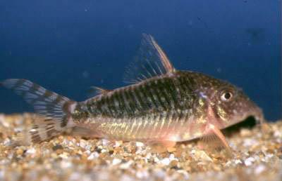 corydoras similis corydoras simulatus corydoras sipaliwini corydoras ...