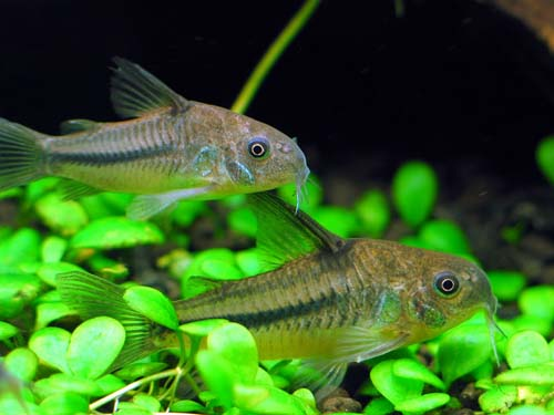Blue Corydoras Pictures to pin on Pinterest