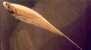 Картинки по запросу Distocyclus conirostris