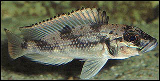 Neolamprologus Cylindricus Lamprologus