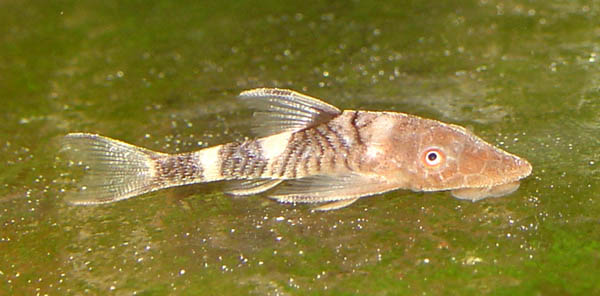 Nannoptopoma sp Peru