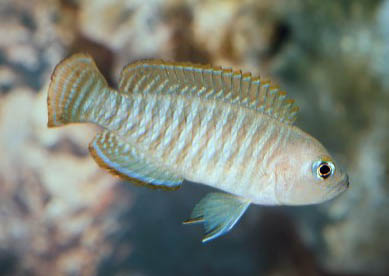 http://www.israquarium.co.il/FishPhoto/Neolamprologus%20multifasciatus.jpg