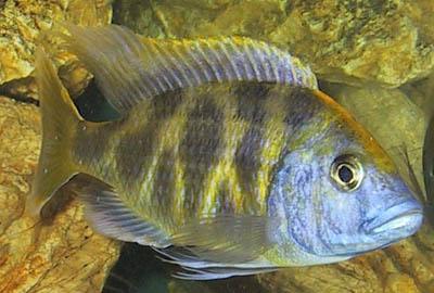 Nimbochromis%20venustus.jpg