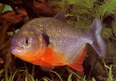 http://www.israquarium.co.il/FishPhoto/Pygocentrus%20nattereri.jpg