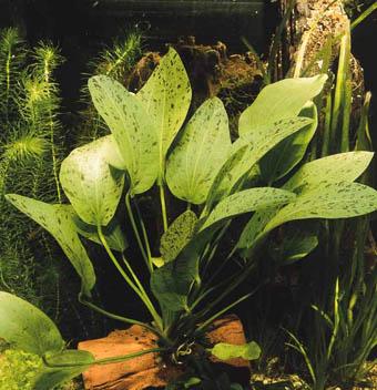 http://www.israquarium.co.il/PlantsPhoto/Echinodorus%20OzelotGrun.jpg