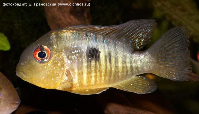 http://www.israquarium.co.il/ru/Article/Photo/Gymnogeophagus_balzanii/Gymnogeophagus_balzanii_male.jpg