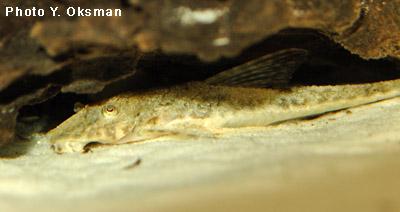Loricaria sp.