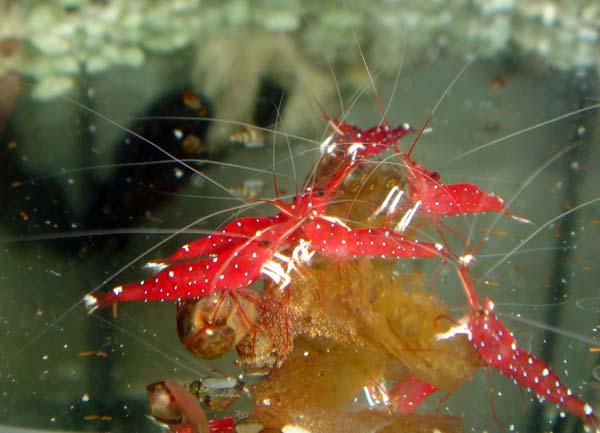 аквариумная креветка, неокаридина кардинал